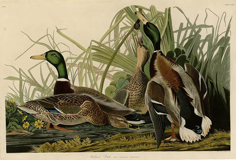 Mallard_Duck